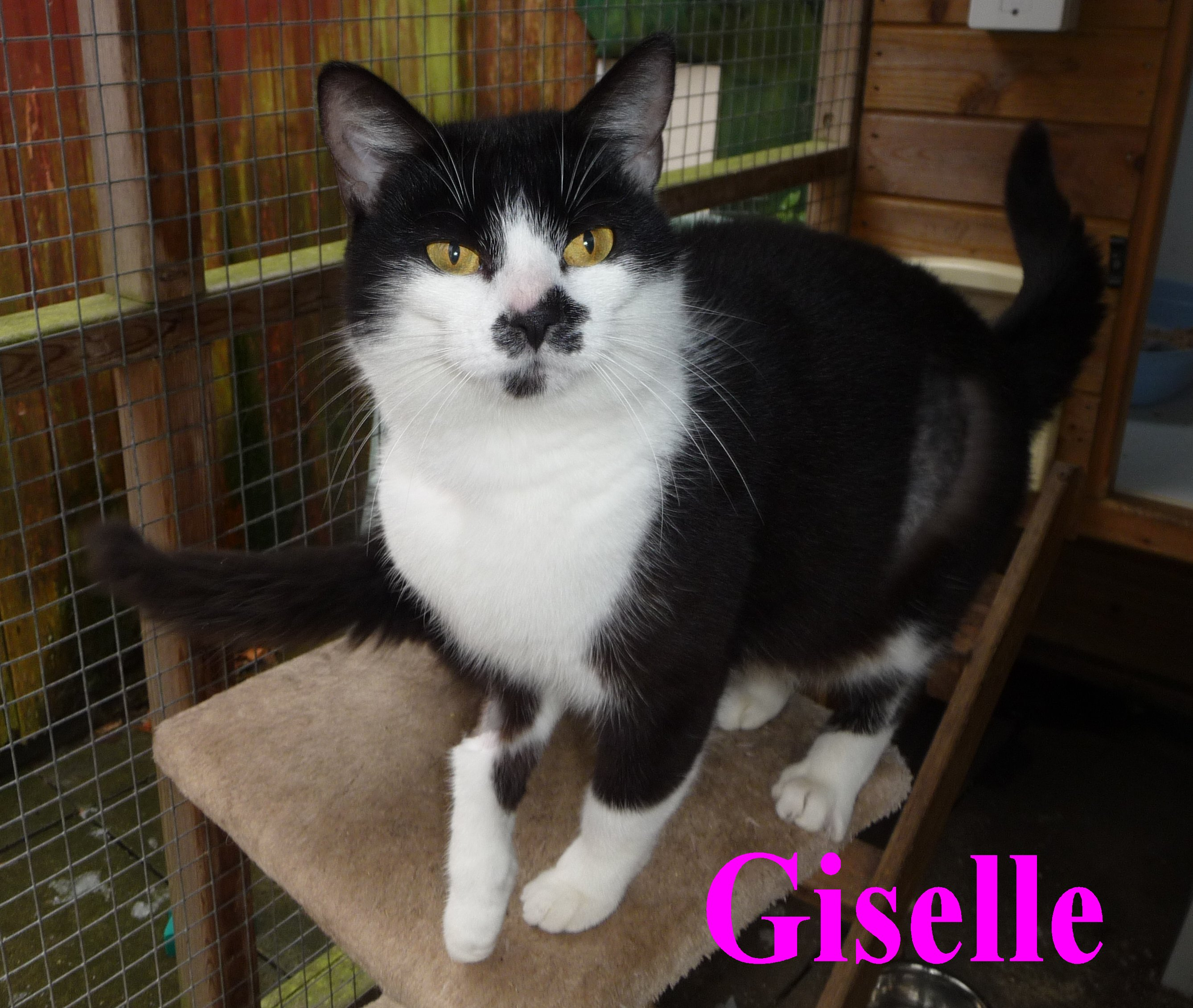 Giselle « Lancashire Cat Rescue